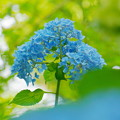 200609_11A_紫陽花を愛でる・S18200(多摩川台) (68)