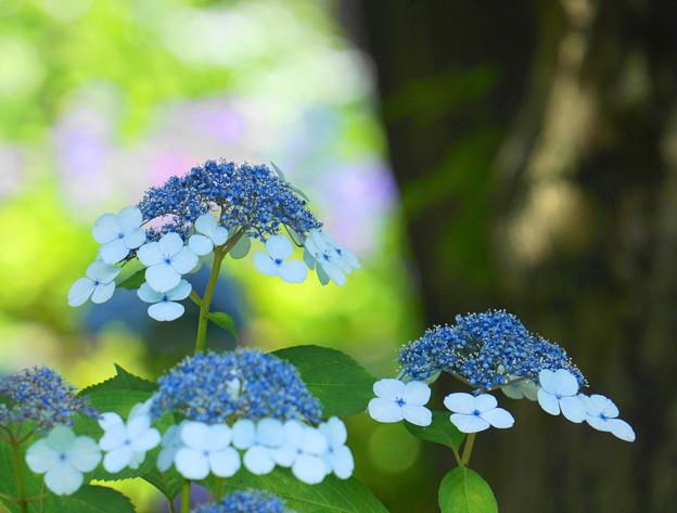 Photos: 200609_11A_紫陽花を愛でる・S18200(多摩川台) (73)