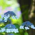200609_11A_紫陽花を愛でる・S18200(多摩川台) (73)