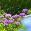 Photos: 200609_11A_紫陽花を愛でる・S18200(多摩川台) (76)