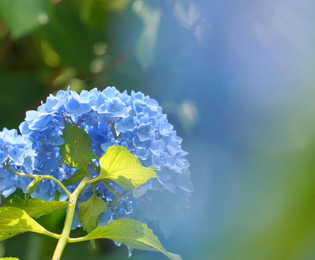 Photos: 200609_11A_紫陽花を愛でる・S18200(多摩川台) (79)