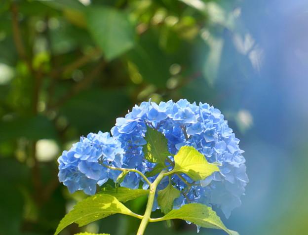 Photos: 200609_11A_紫陽花を愛でる・S18200(多摩川台) (80)