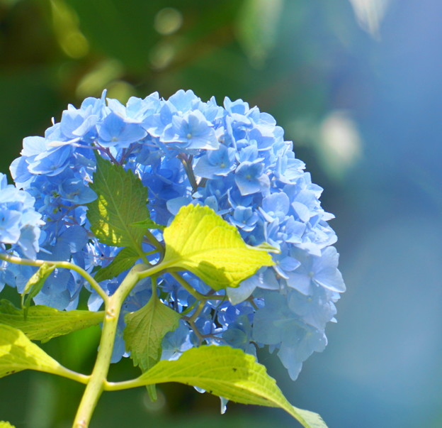 Photos: 200609_11A_紫陽花を愛でる・S18200(多摩川台) (81)