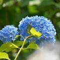 Photos: 200609_11A_紫陽花を愛でる・S18200(多摩川台) (85)