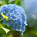 Photos: 200609_11A_紫陽花を愛でる・S18200(多摩川台) (87)