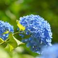 200609_11A_紫陽花を愛でる・S18200(多摩川台) (91)