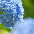 Photos: 200609_11A_紫陽花を愛でる・S18200(多摩川台) (93)