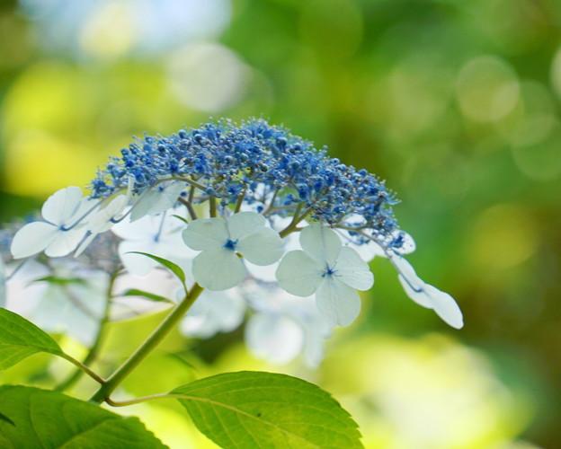 Photos: 200609_11A_紫陽花を愛でる・S18200(多摩川台) (97)