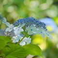 Photos: 200609_11A_紫陽花を愛でる・S18200(多摩川台) (102)
