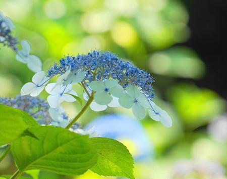 Photos: 200609_11A_紫陽花を愛でる・S18200(多摩川台) (105)