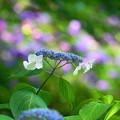 Photos: 200617_12A_紫陽花・S1655G(多摩川台) (11)