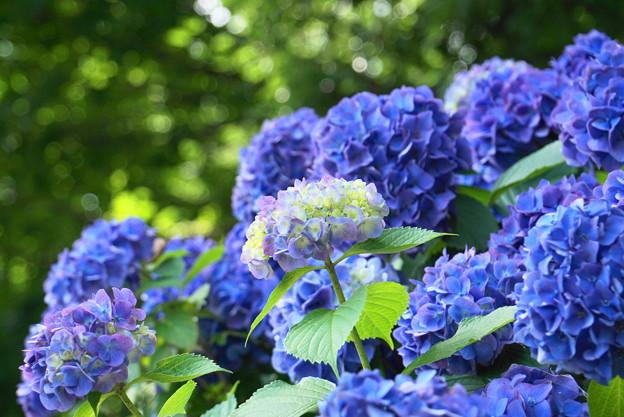 Photos: 200617_12A_紫陽花・S1655G(多摩川台) (13)