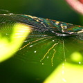201104_K01_蜘蛛の巣とホトトギス・RX10M3(西方寺) (48)