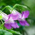 200915_02A_アサリナ・紫・RX10M3(我が家の花壇) (15)