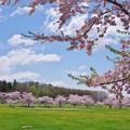 Photos: はこだて未来大学の満開の桜