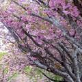 石崎地主海神社の八重桜