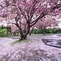 Photos: 石崎地主海神社の八重桜