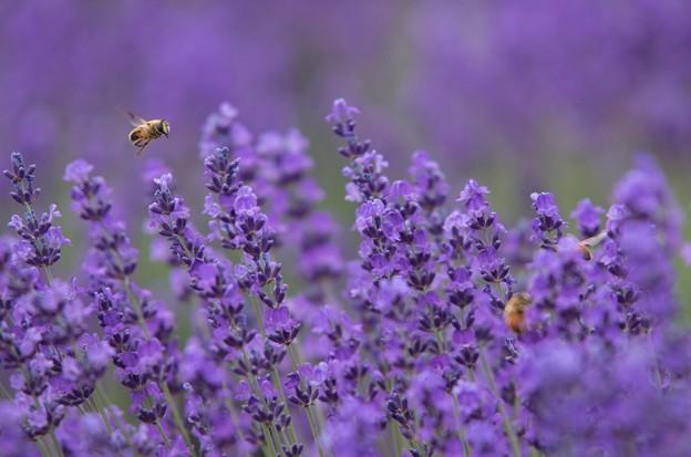 ラベンダーとハチさん