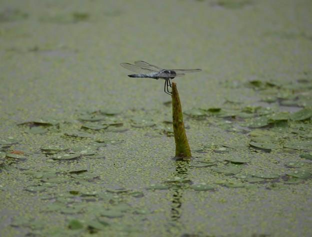 湿地のトンボ