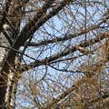 キレンジャク 高い木の上
