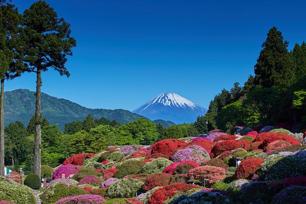 庭園に咲く色とりどりのツツジと富士山