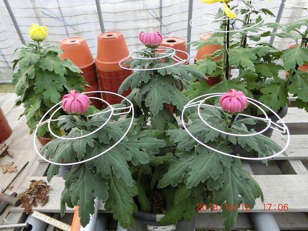 写真: ダルマ、兼六香菊