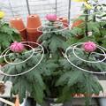 ダルマ、兼六香菊