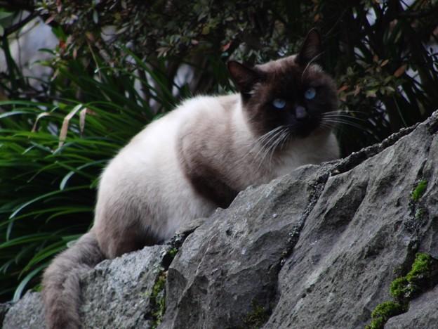 目の青い猫