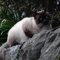 Photos: 目の青い猫