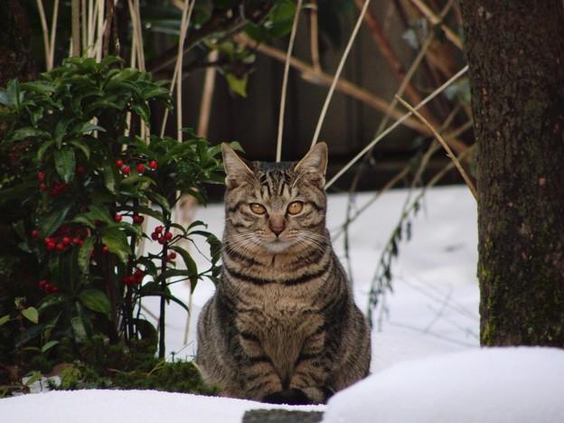 南天の横に佇む猫