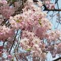 写真: 最後の垂れ桜