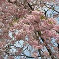 最後の垂れ桜