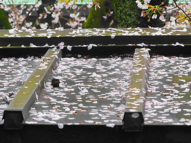 写真: 桜の花びら舞う