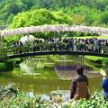 うすべに橋@あしかがフラワーパーク