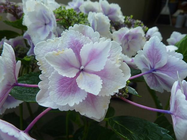 写真: きらきら星☆紫陽花