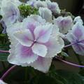 きらきら星☆紫陽花