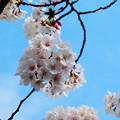 Photos: 府中の森公園の桜