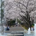噴水と桜並木