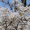 府中の森公園の桜