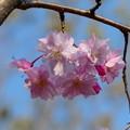 府中の森公園の枝垂れ桜