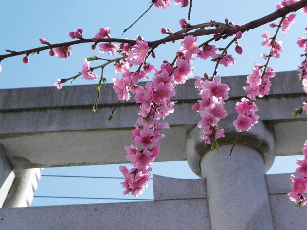 Photos: 近所で見たしだれ桜