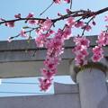 近所で見たしだれ桜