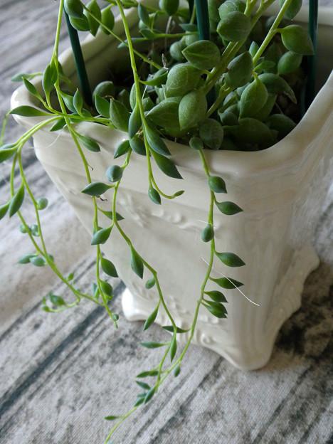 グリーンネックレス(多肉植物)