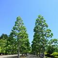 写真: プラタナス並木