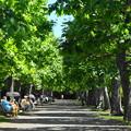 プラタナス並木