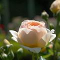 シャドーシオブキューア 薔薇