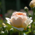 Photos: シャドーシオブキューア 薔薇