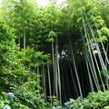 写真: 竹林と紫陽花
