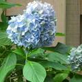 写真: ハート紫陽花