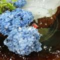 写真: 水に浮かぶ紫陽花